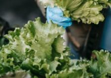 This photo shows a food worker picking lettuce with gloves on.
